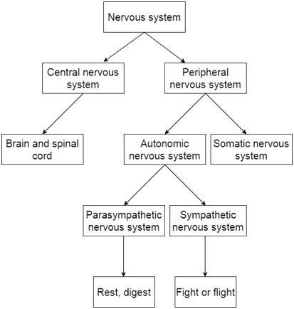How the peripheral nervous system influences recovery after training central nervous system peripheral nervous system sympathetic parasympathetic ccuart Choice Image